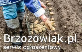 Ziemniaki wielkość sadzeniaki